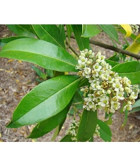 Чай матэ,Падуб парагвайский, Ilex paraguariensis