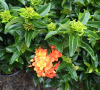 Ixora Orange Twist.