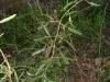Jasminum lineare-жасмин пустыни Новинка