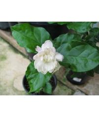 Jasminum sambac Mysore Mulli