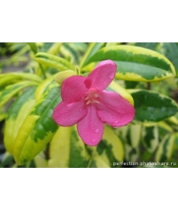 Ravenia spectabilis variegata -укоренялаь больше года