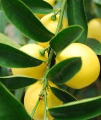 Eustis limequat