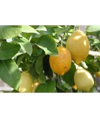 Lisbon Limon, Лимон