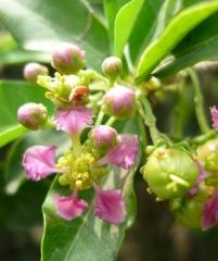 Мальпигия голая,  барбадосская вишня, Malpighia glabra, Ацерола
