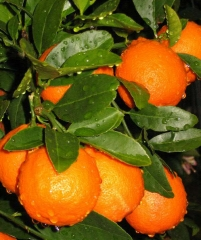 Minneola Tangelo, гибрид грейпфрута и мандарина