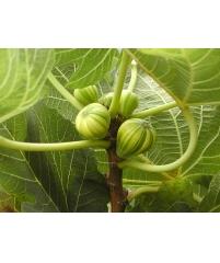 Ficus carica Variegata, Инжир Panasce  (редкий сорт)  черенки небольшие