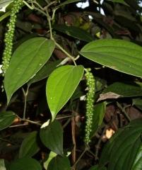 Перец чёрный, Piper nigrum -подросший кустик