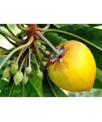 Канистел, Pouteria campechiana