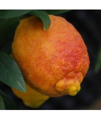 Citrus limonimedica Red Skin