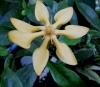 Gardenia sp. Papua New Guinea