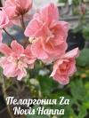 Пеларгония Za Novis Hanna -цветение мое