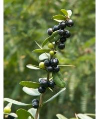 Severinia buxifolia, Севериния самшитолистная