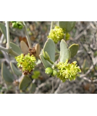 Жожоба, Симмондсия китайская, Simmondsia chinensis(черенок не большой)