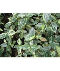 Trachelospermum jasminoides 'Nagaba'