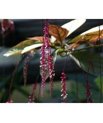 Трихостигма перувианская, Trichostigma peruvianum