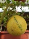 citrus cornoles var