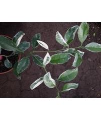 Citrus macrophylla variagat