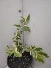 Мирт вариегатный -растение с фото