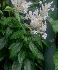 Уатфельдия, Витфельдия, Whitfieldia laterita, Whitfieldia elongata, Whitfieldia longiflora