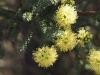 Kunzea spathulata