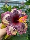 Hibiscus  LUV Memories