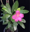 Ravenia spectabilis  укореняется долго
