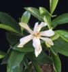 Gardenia sp.taiwan