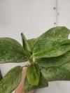 Aglaonema yellow veins