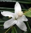 Quararibea funebris  Кварарибея -ОЧЕНЬ ароматное