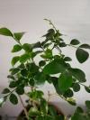 Муррайя paniculata dwarf (лист волнистый)