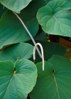 Piper auritum  (Перец ушковатый)-мексиканский перечный лист