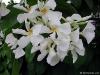 Chonemorpha fragrans -Хонеморфа
