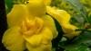 Gelsemium sempervirens pride of augusta -цветочки махровые