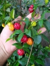 Eugenia uniflora - Lolita Surinam Cherry