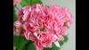 Swanland pink