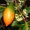 Melodinus australis (редкость)