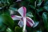 Gardenia Amoena  (Hyperacanthus amoenus)