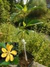 Gardenia ululani  (цветение поставщика)