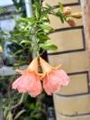 Punica granatum nana (yellow)