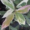 Osmanthus fragrans 'Variegatus' -Новинка