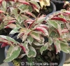 Excocaria cochinchinensis variegated