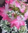 Pelargonium stella vernante
