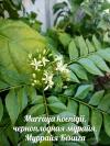Murraya koenigii, черноплодная мурайя, Муррайя Кёнига