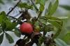 Diospyros lycioides-хурма  (карликовая)