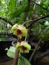 Miliusa chantaburiana (новинка редкость)