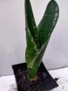 Декопан ( редкий) -растение с фото -2