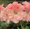 Pelargonium rushmoor nile  фото  инет