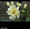 Pelargonium zonartic Rushmoor Mississippi (фото цветения инет)