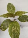 Jacobinia Carnea variegata