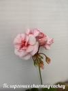 Пеларгония charmay cockey (фото инет)